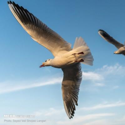 پرواز کاکایی ها برفراز «چشمه کیله» | عکس
