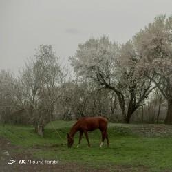 طبیعت بهاری قزوین | عکس