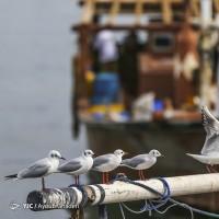 پرندگان مهاجر جزیره کیش | عکس