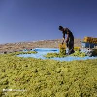برداشت انگور و تولید کشمش در ملایر | عکس