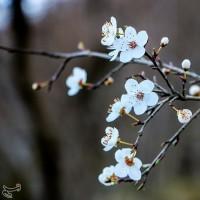 شکوفههای زمستانی  | عکس