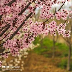 شکوفه های بهاری بجنورد | عکس