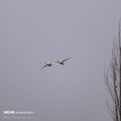 افزایش چشمگیر قوهای مهاجر در مازندران | عکس