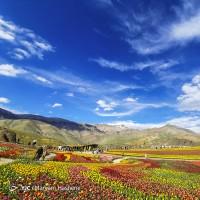 دشت لالههای لِزور   عکس