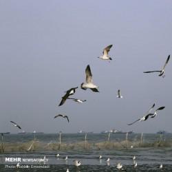 مرغان کاکایی، سواحل بندرعباس | عکس