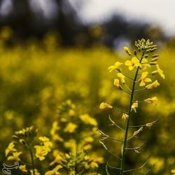 مزارع کلزا در خوزستان | عکس